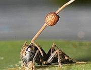 Una formica-zombie con il fungo che le esce dalla testa (David Hughes, Penn State University)
